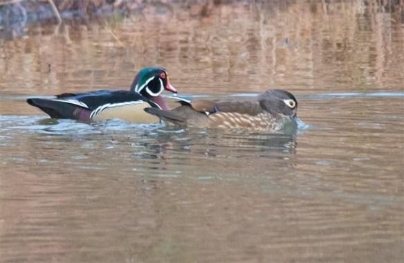 Wood Duck 2017-3