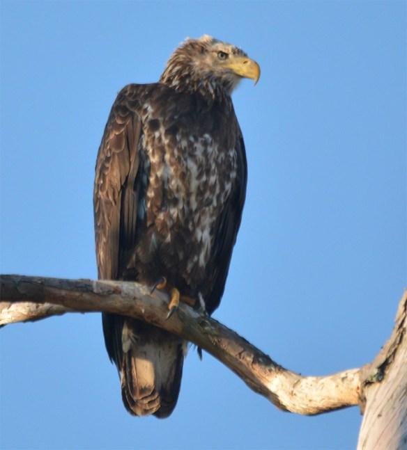 Bald Eagle 2017-90