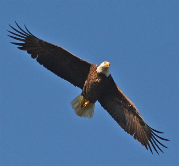 Bald Eagle 2017-91