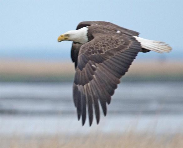 Bald Eagle 2017-98