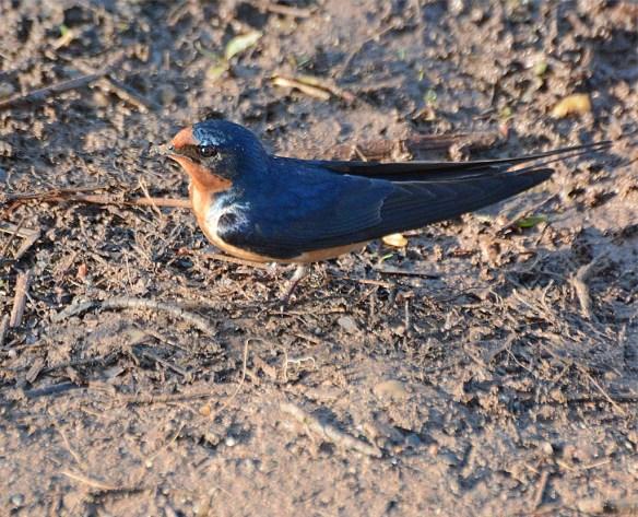 Barn Swallow 2017-2