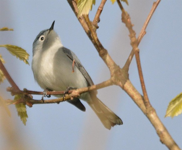 Blue Gray Gnatcatcher 2017-5