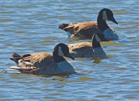 Cackling Goose 2017-4
