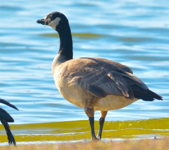 Cackling Goose 2017-5