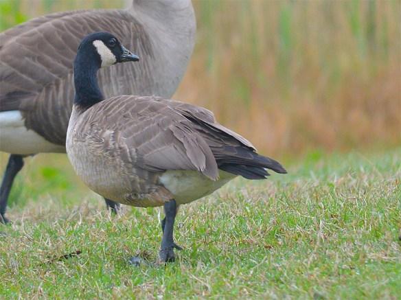 Cackling Goose 2017-7
