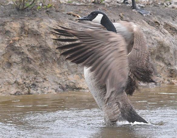 Canada Goose 2017-23