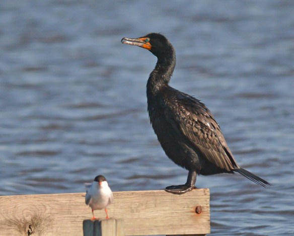 Double Crested Cormorant 2017-12