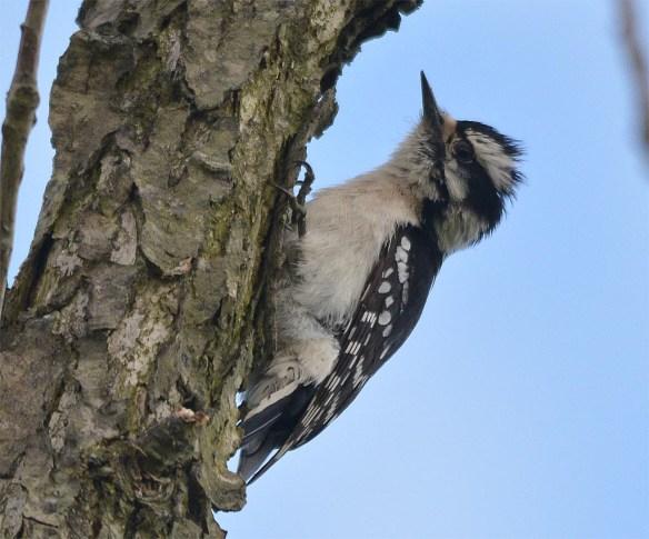 Downy Woodpecker 2017-3