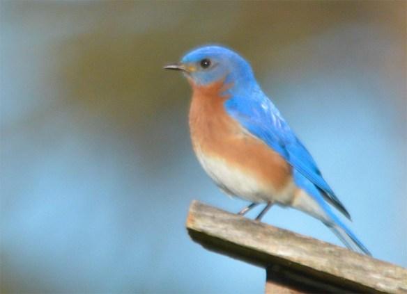 Eastern Bluebird 2017-6