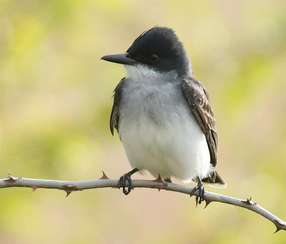 Eastern Kingbird 2017-2