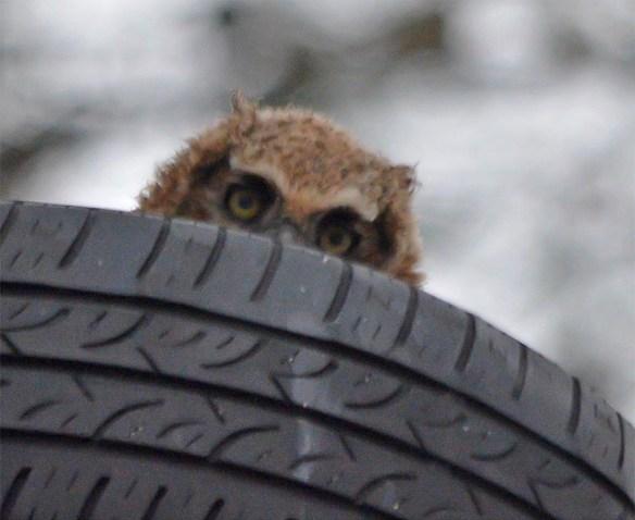 Great Horned Owl 2017-6