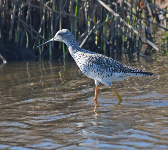 Greater Yellowlegs 2017-10