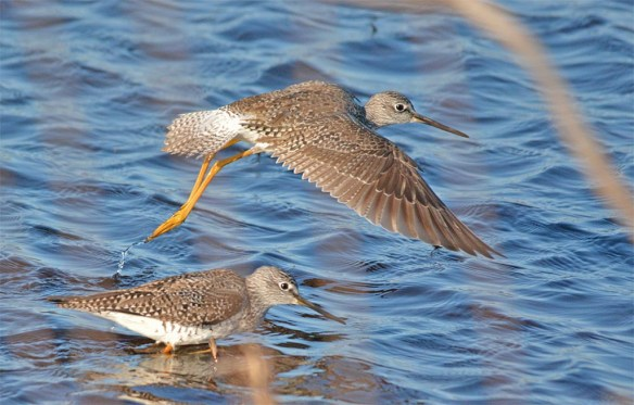 Greater Yellowlegs 2017-7