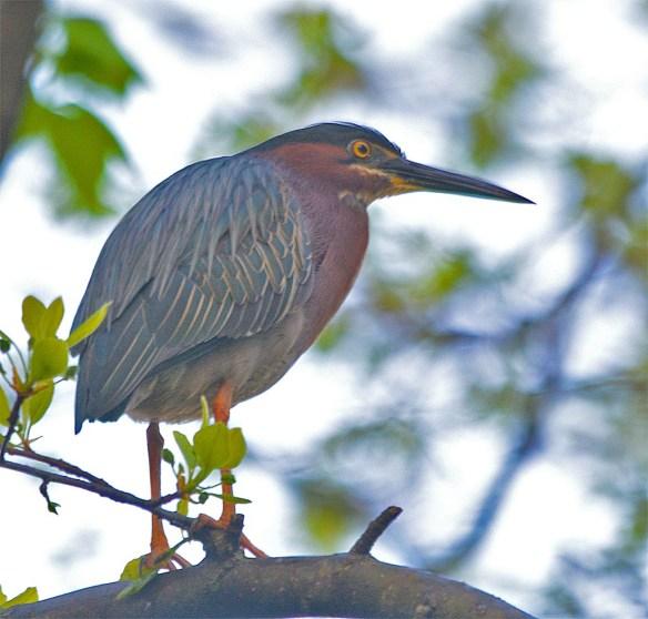 Green Heron 2017-2