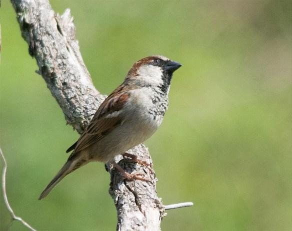 House Sparrow 2017-1