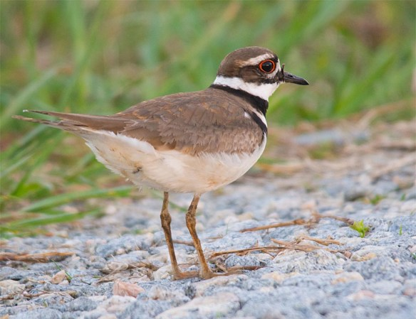 Killdeer 2017-8