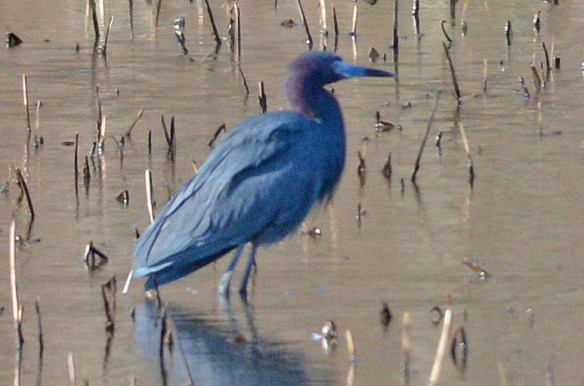 Little Blue Heron 2017-1