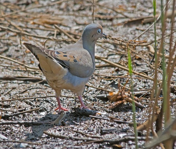 Mourning Dove 2017-1