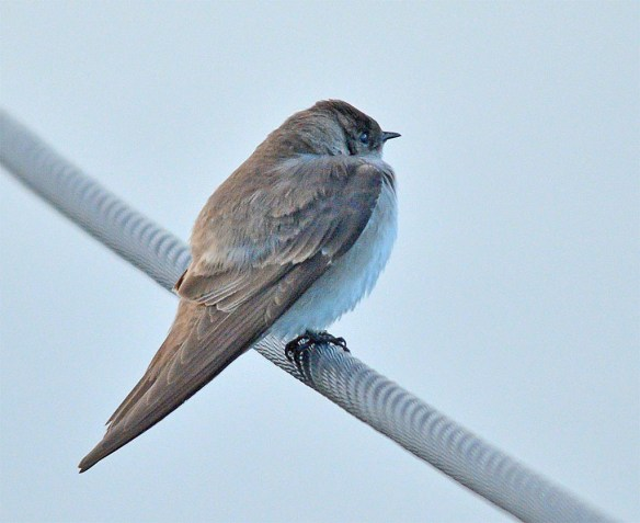 Northern Rough Winged Swallow 2017-1