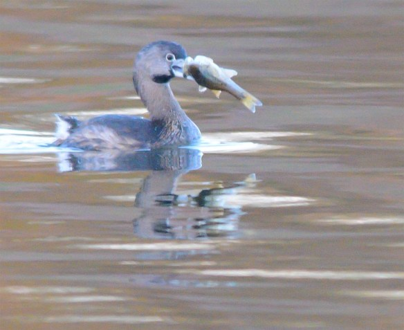 Pied Billed Grebe 2017-4