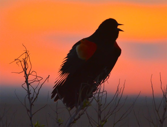 Red Winged Blackbird 2017-12