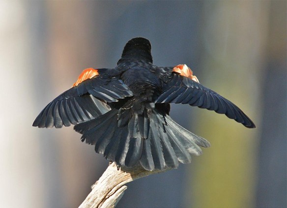 Red Winged Blackbird 2017-16