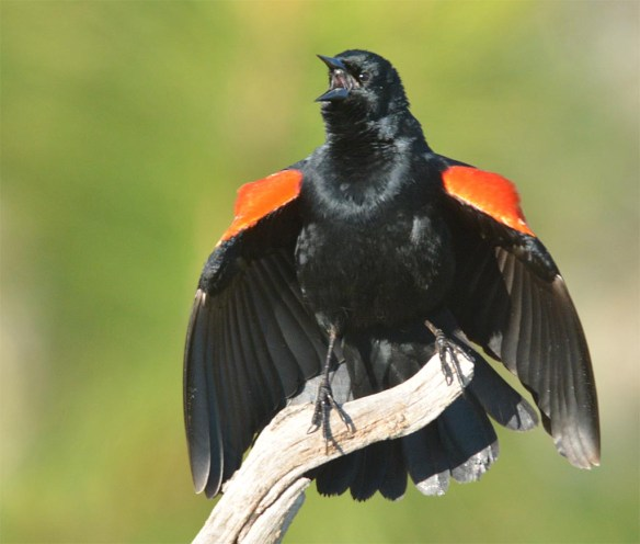 Red Winged Blackbird 2017-17