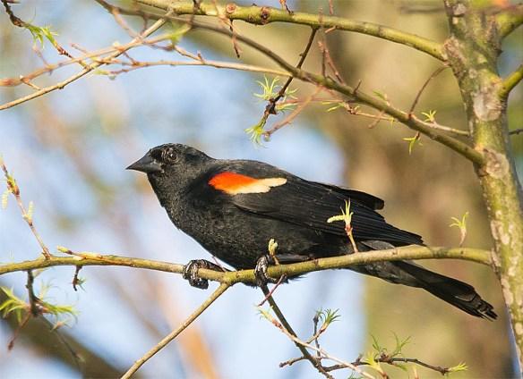 Red Winged Blackbird 2017-18