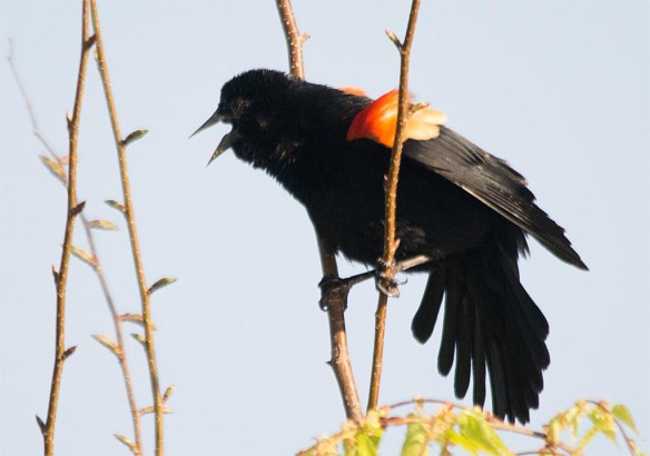 Red Winged Blackbird 2017-19