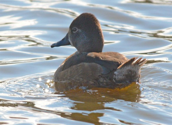Ring Necked Duck 2017-12