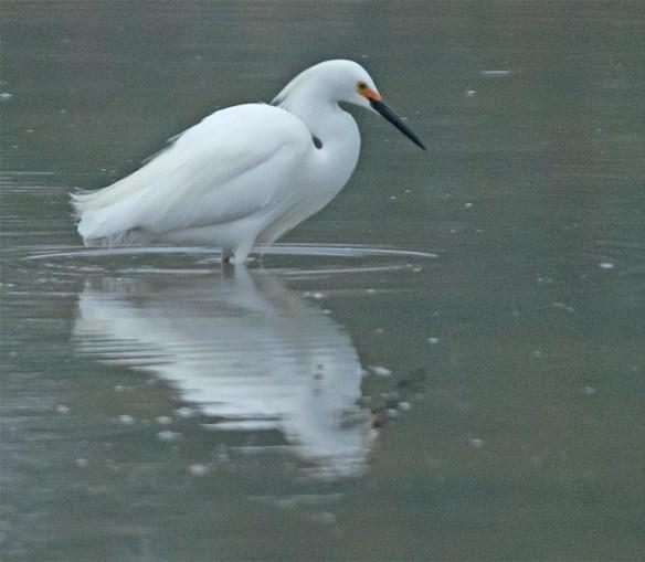 Snowy Egret 2017-13