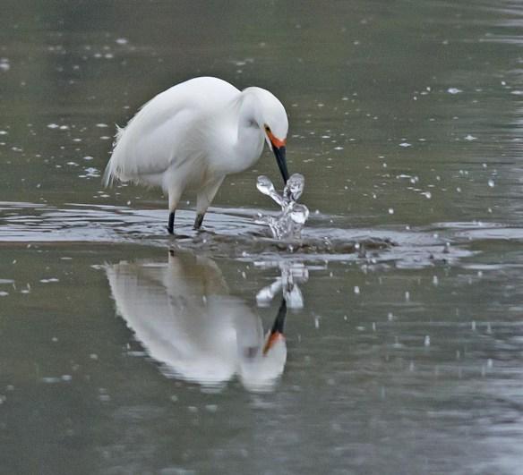 Snowy Egret 2017-14