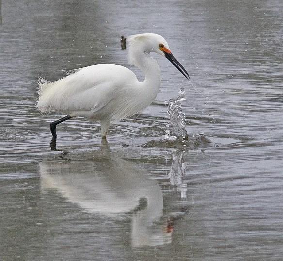 Snowy Egret 2017-16