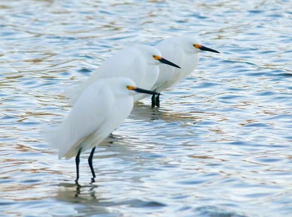 Snowy Egret 2017-8