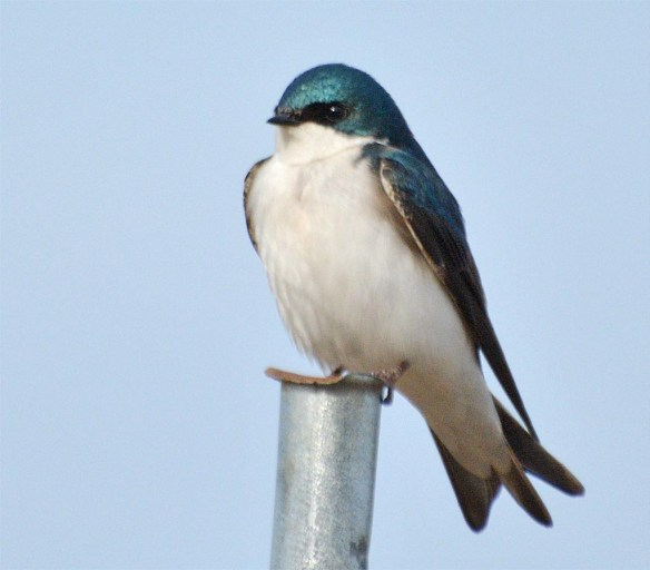 Tree Swallow 2017-10