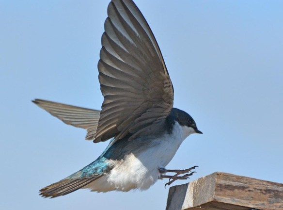 Tree Swallow 2017-19