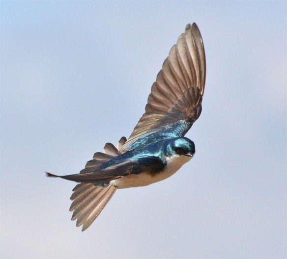 Tree Swallow 2017-20
