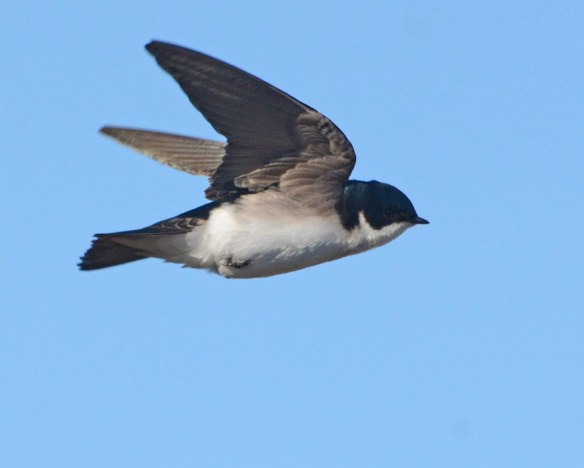 Tree Swallow 2017-27