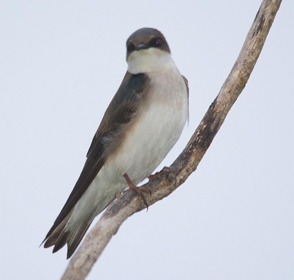 Tree Swallow 2017-34