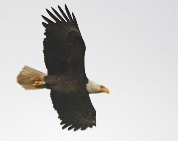 Bald Eagle 2017-100
