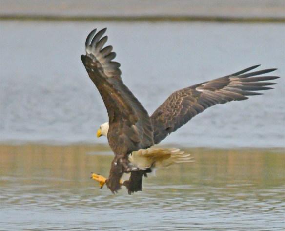 Bald Eagle 2017-102