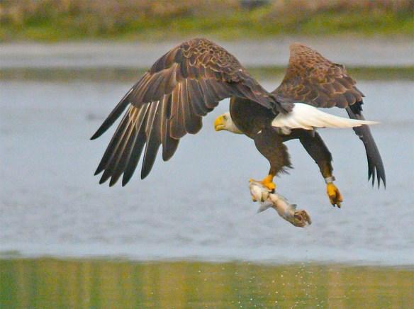 Bald Eagle 2017-104