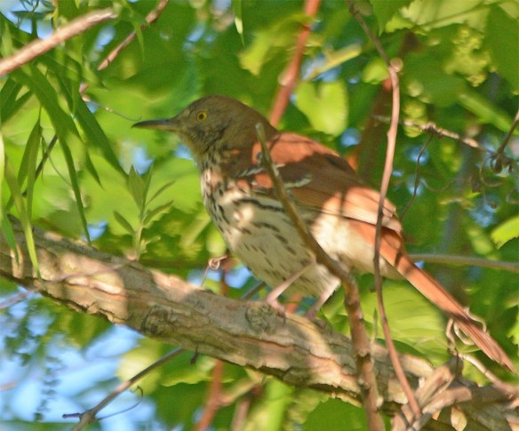 Brown Thrasher 2017-2