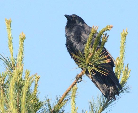 Crow 2017-4