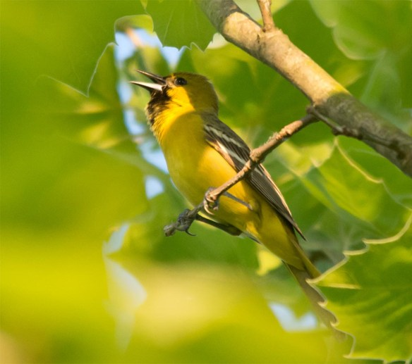 Orchard Oriole 2017-8