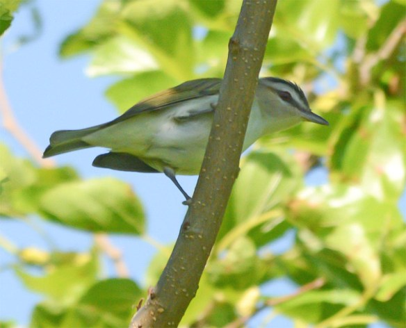 Red Eyed Vireo 2017-1