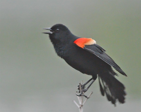 Red Winged Blackbird 2017-22