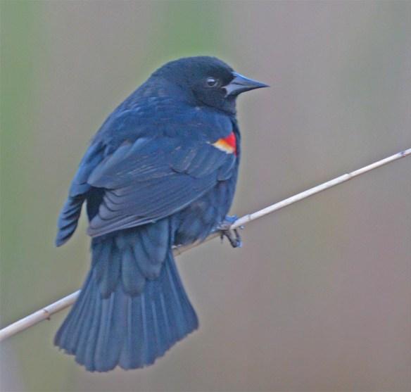 Red Winged Blackbird 2017-23