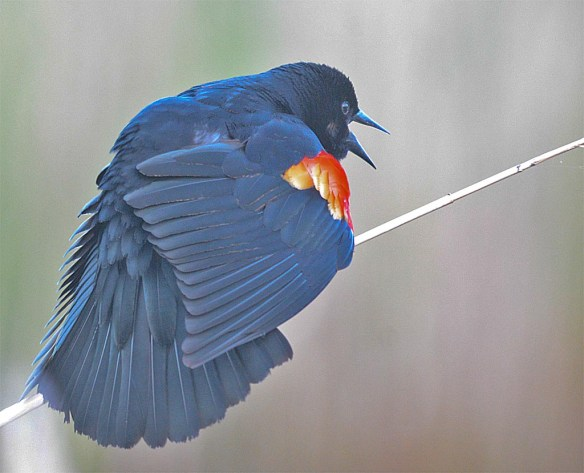 Red Winged Blackbird 2017-24