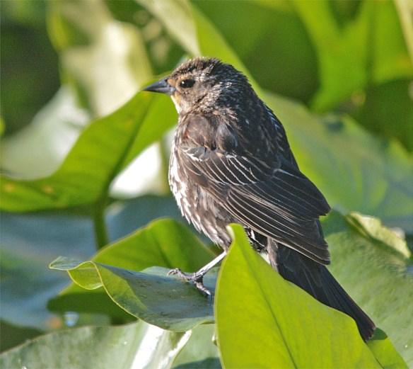 Red Winged Blackbird 2017-25